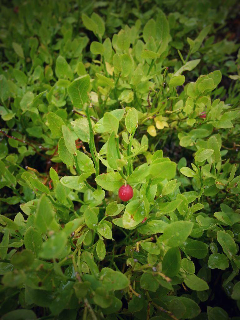 Foraging Huckleberries