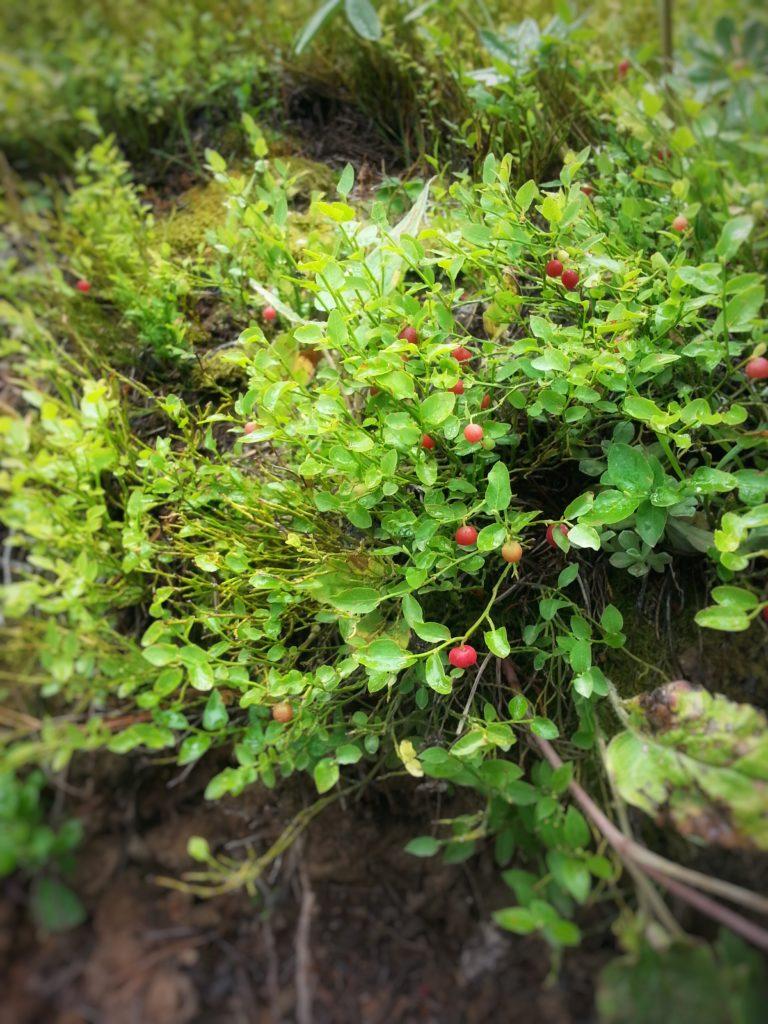 WIld Colorado Huckleberries